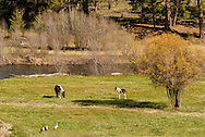 Horses, Paint mare and foal, grazing, geese, Monture Creek, west of Ovando, Montana