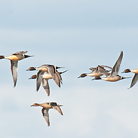 pintail courtship flight, blue cloudy sky close up