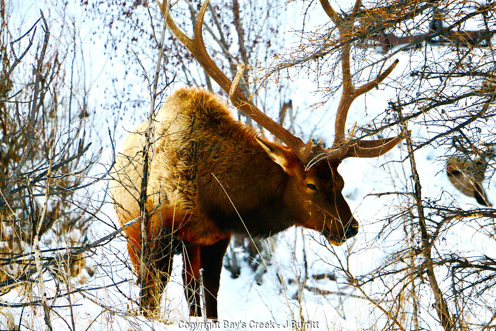 Bull Elk in Snow in RMNP