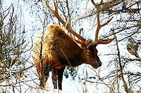 Bull Elk in Snow in RMNP