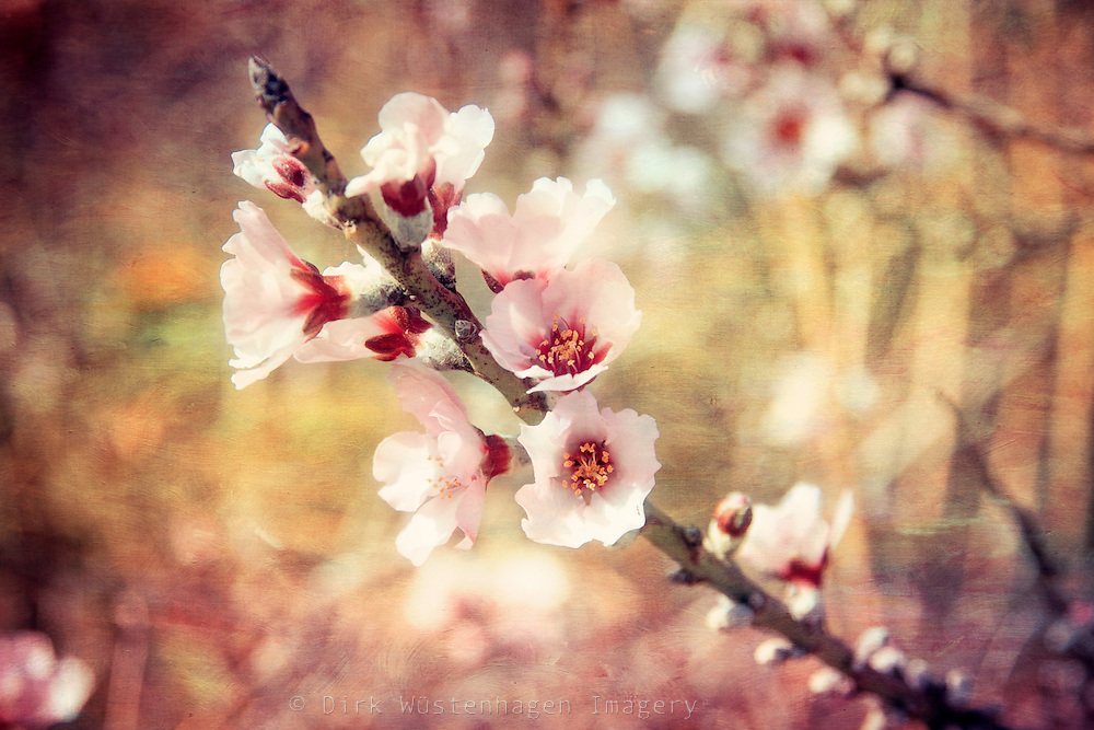 Twigs with almond blossoms - texturized photo.<br /> <br /> Prints &amp; more:<br /> http://society6.com/DirkWuestenhagenImagery/Dreamy-Almond-Blossoms_Print