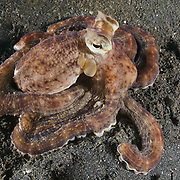 Mimic octopus (Thaumoctopus mimicus) sitting on dark sand muck in Lembeh Strait, North Sulawesi, Indonesia
