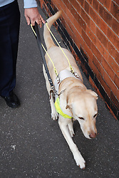 Guide Dog in harness, walking with owner