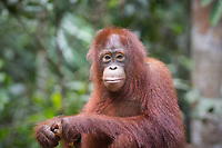 Portait of a wild, seated juvenile Bornean orangutan (Pongo pygmaeus) in Tanjung Puting National Park, Borneo, Indonesia.