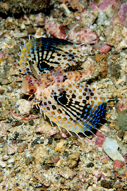 Juvenile Flying Gurnard Dactyloptena orientalis at Lembeh Straits, Indonesia.