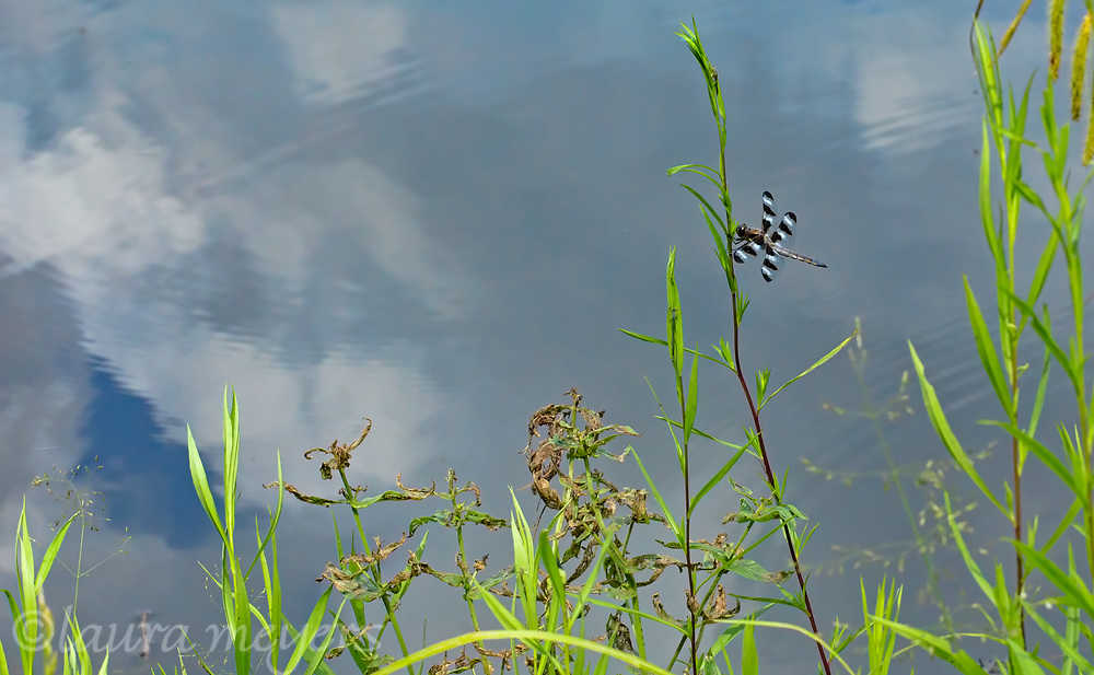 Twelve-spotted Skimmer Dragonfly (Libellula pulchella)in grass with pond reflection in Vermont