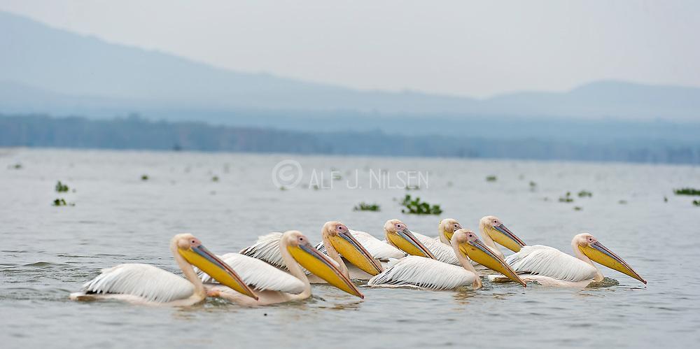 Great White Pelicanes (Pelecanus onocrotalus) at Lake Naivasha, Kenya.