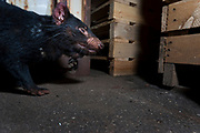 A large tumour can be see on this adult devils neck as it walks through an industrial area with crates and shipping containers. A family of devils was living in the area for around 6 months. Photographed by camera trap.