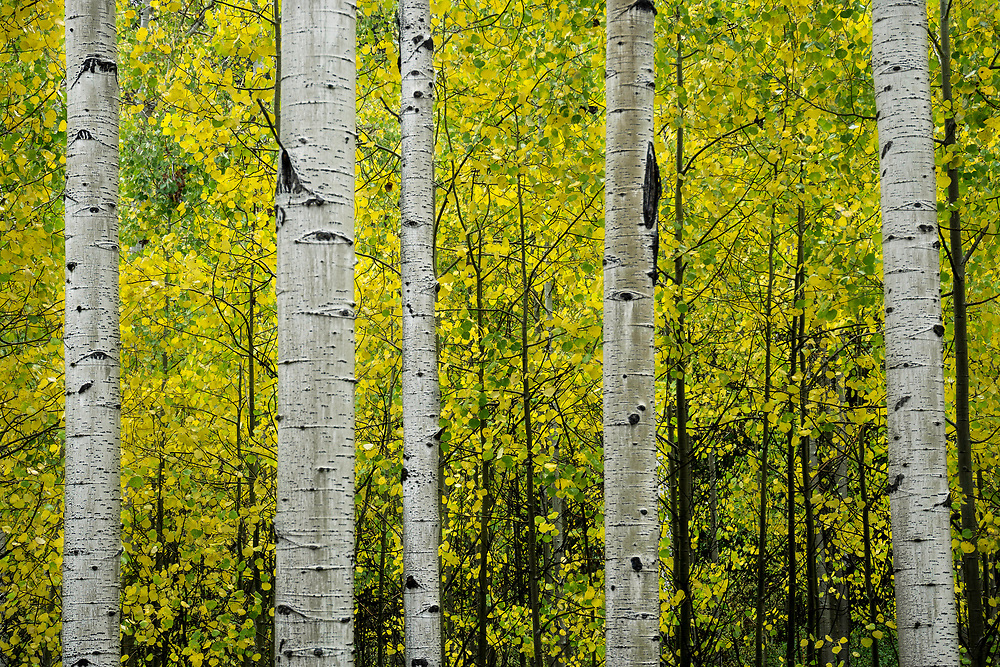 Aspen tree trunks standing together amidst a sea of golden yellow leaves.