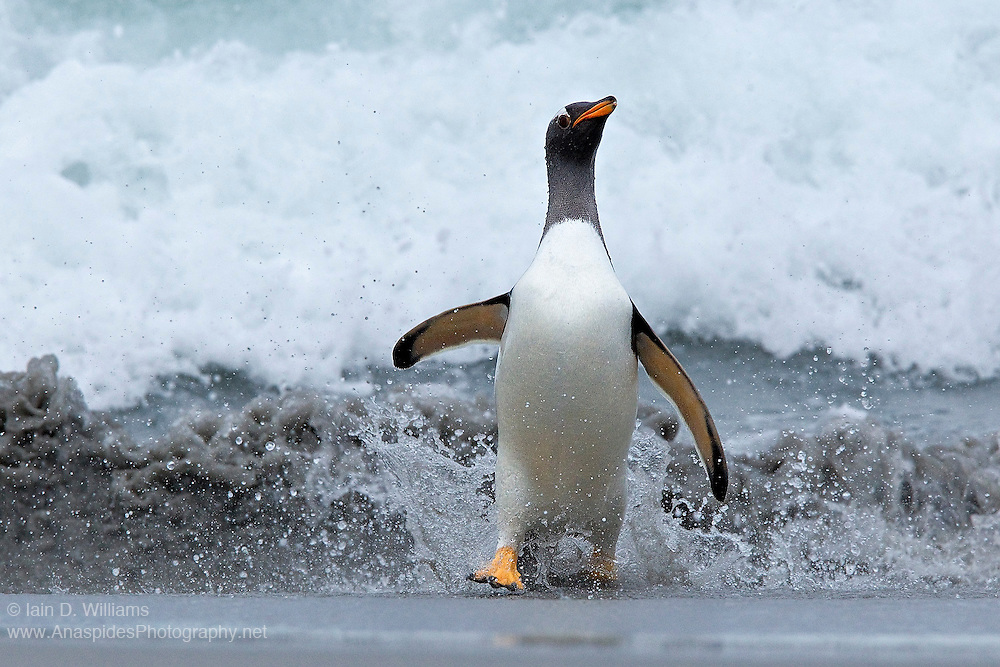 A gentoo penguin, after safely negotiating the surf zone runs up the beach to dryer sand