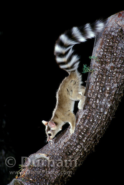 A wild ringtail (Bassariscus astutus) on the limb of an alligator juniper tree in the Coronado national Forest, Arizona.
