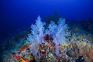 Alcyonaire (Alcyonacea) of Red Sea, Sudan