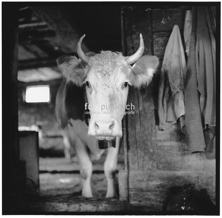 Kuhkopf im Stall; Kuh schaut, cow looking, big eyes, head, écurie, étable, vache, regarde, cuisine, alpage, Alphütte