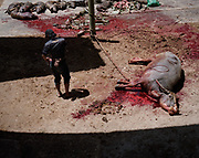 Pigs and water buffaloes were sacrificed during Rambu Solo Torajan Traditional Funeral Ceremony.  The buffalo receives a quick blow with a long knife to the jugular and the pig is stabbed directly to the heart for a swift death.