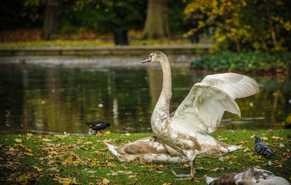 Baby Swans in the park on an autumn day, surrounded by fallen autumn leaves