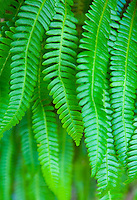 Closeup of fern fronds