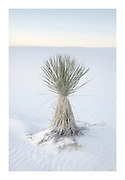 Yucca, White Sands National Monument, New Mexico