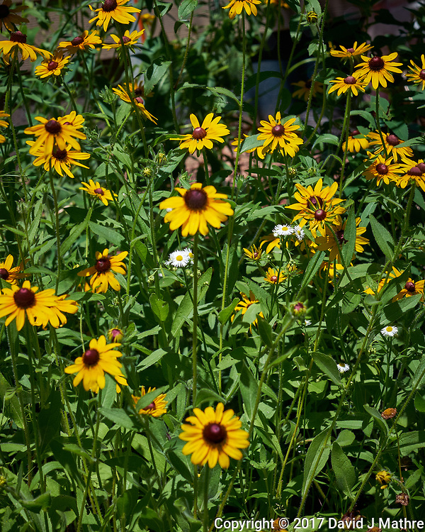 Black-eyed Susan's. Backyard wildflower meadow. Summer nature in New Jersey. Image taken with a Fuji X-T1 camera and 56 mm f/1.2 lens (ISO 200, 56 mm, f/6.4, 1/1250 sec).