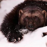 USA, Kalispell (MT)<br /> Wolverine (Gulo gulo) (C)