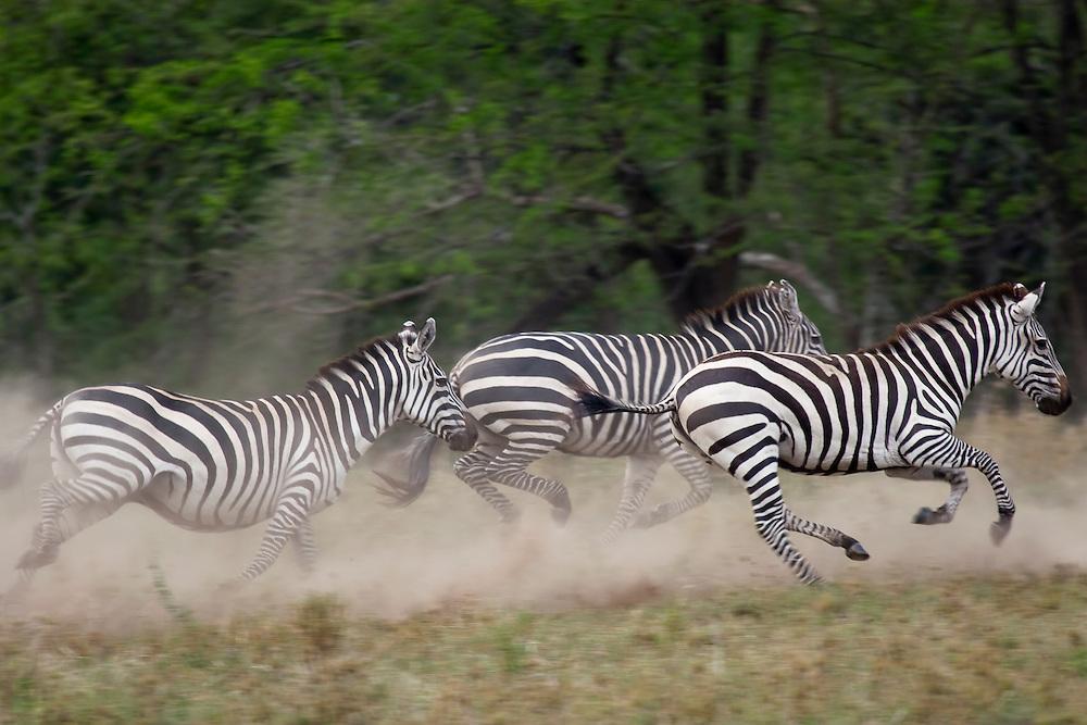 (Equus burchellii) Serengeti National Park, Tanzania