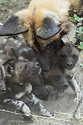 African Wild Dog<br /> Lycaon pictus<br /> 6 week old pups begging adult for meat<br /> Northern Botswana, Africa<br /> *Endangered species