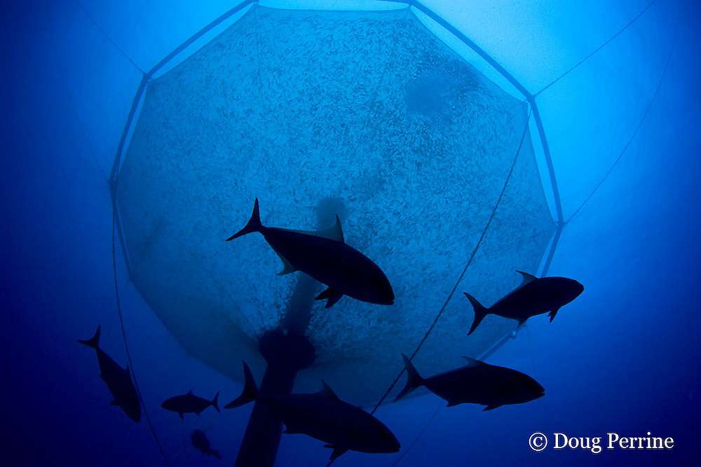 free-swimming kahala (amberjack or almaco jacks) swim past underwater net cage used for open ocean fish pen aquaculture by Kona Blue Water Farms filled with Kona kampachi, Seriola rivoliana, also known as Hawaiian yellowtail, kahala, or almaco jack, Kona Coast, Hawaii Island ( the Big Island ), Hawaiian Islands, USA ( Central Pacific Ocean )