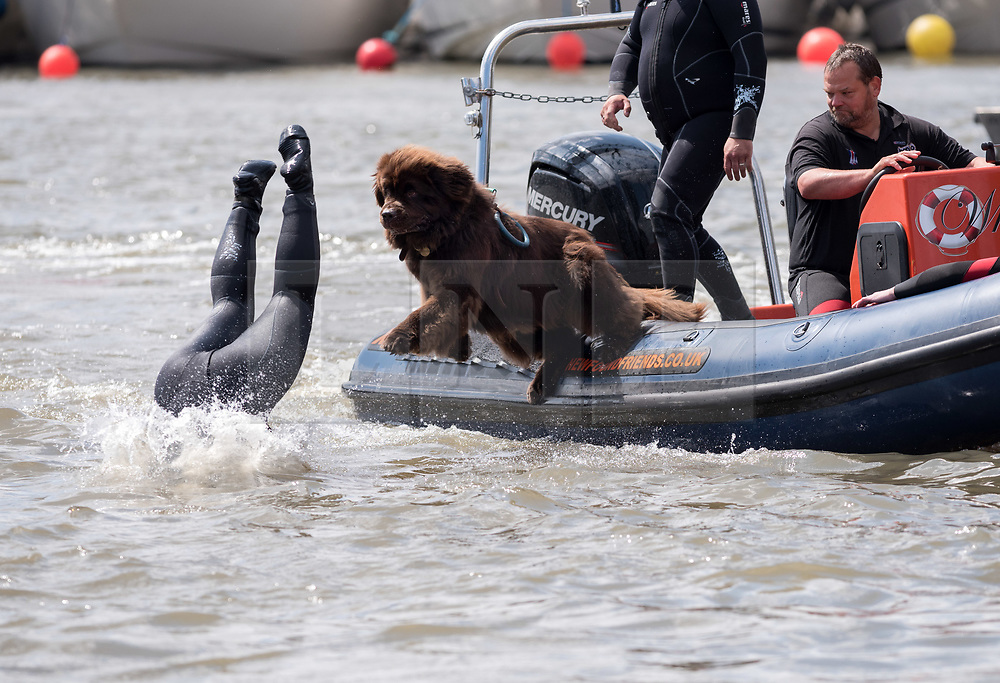© Licensed to London News Pictures. 20/07/2019; Bristol, UK. Bristol Harbour Festival; the Newfoundland Dogs life saving rescue display. Bristol Harbour Festival turns 48 this year and 250,000 people attend over the weekend for maritime entertainment, music and dance. Photo credit: Simon Chapman/LNP.