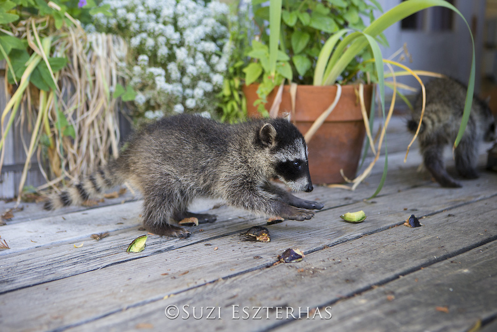 Raccoon <br /> Procyon lotor<br /> Eight-week-old orphaned baby playing on porch of foster home <br /> WildCare, San Rafael, CA