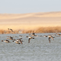 northern pintail courtship flight close to water