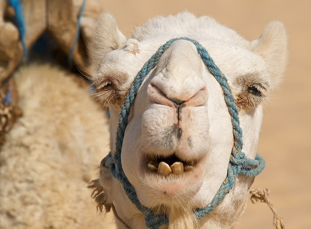 Tunisia - White camel portrait