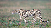 A cheetah begins his stalk