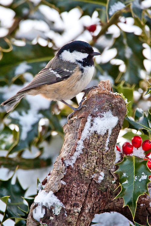 Coal tit and holly bush in snow scene, The Cotswolds, UK