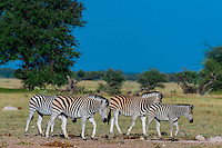 Herd of zebras, Nxai Pan National Park, Botswana.