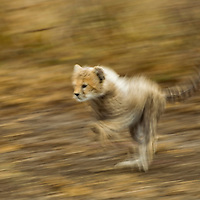 Tanzania, Ngorongoro Conservation Area, Ndutu Plains, Blurred image of running Cheetah cub (Acinonyx jubatas) playing on savanna