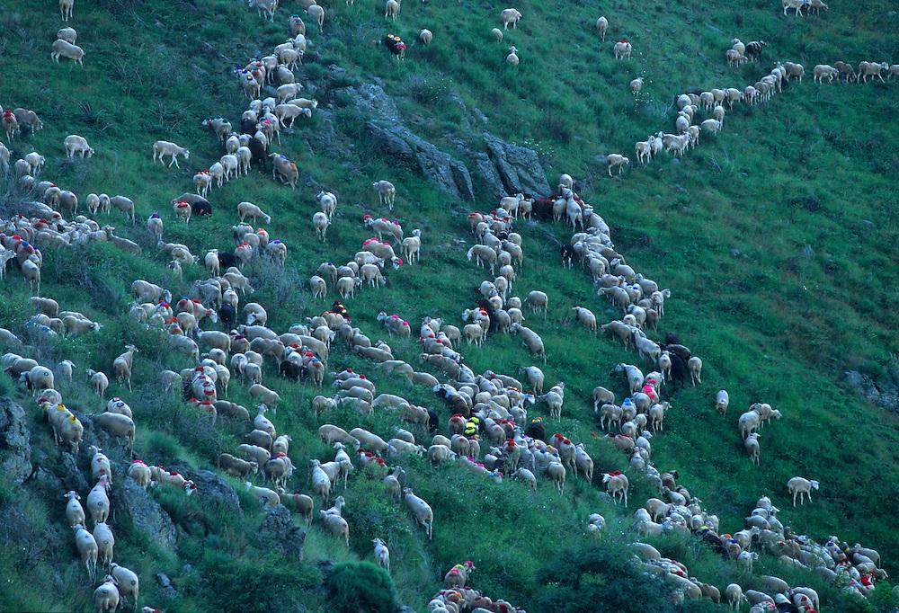 France, Languedoc Rousillon,Gard, Cevennes, Transhumance, col de l'Asclier
