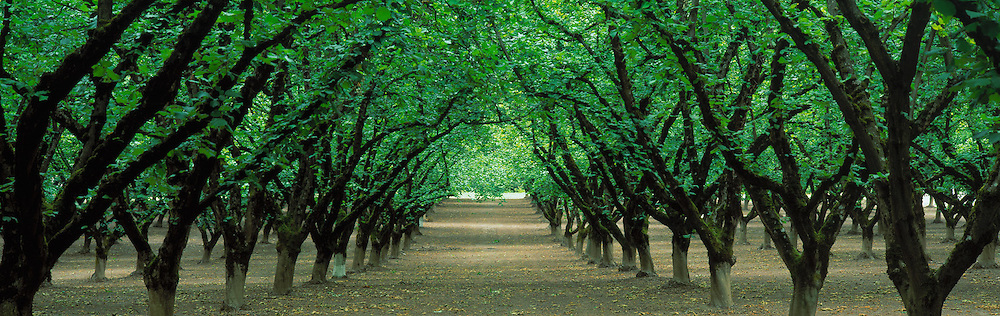 Hazel Nut Orchard