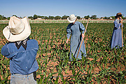 "June 16, 2008 -- COLORADO CITY, AZ: Members of the Jessop family, a polygamous family and members of the FLDS in Colorado City, AZ, weed the community corn field. The family grows about 30 percent of the food they consume and buy the rest at the town mercantile store. Although their fields are not ""organic"" according the Department of Agriculture standards, the Jessops use as few chemicals as possible and try do weed and pest control by hand. Colorado City and neighboring town of Hildale, UT, are home to the Fundamentalist Church of Jesus Christ of Latter Day Saints (FLDS) which split from the mainstream Church of Jesus Christ of Latter Day Saints (Mormons) after the Mormons banned plural marriage (polygamy) in 1890 so that Utah could gain statehood into the United States. The FLDS Prophet (leader), Warren Jeffs, has been convicted in Utah of ""rape as an accomplice"" for arranging the marriage of teenage girl to her cousin and is currently on trial for similar, those less serious, charges in Arizona. After Texas child protection authorities raided the Yearning for Zion Ranch, (the FLDS compound in Eldorado, TX) many members of the FLDS community in Colorado City/Hildale fear either Arizona or Utah authorities could raid their homes in the same way. Older members of the community still remember the Short Creek Raid of 1953 when Arizona authorities using National Guard troops, raided the community, arresting the men and placing women and children in ""protective"" custody. After two years in foster care, the women and children returned to their homes. After the raid, the FLDS Church eliminated any connection to the ""Short Creek raid"" by renaming their town Colorado City in Arizona and Hildale in Utah.  Photo by Jack Kurtz / ZUMA Press"