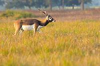 Adult male Black Buck antelope (Antilope cervicapra) in the Black Buck Conservation Area, Khairapur, near Gulariya, Nepal