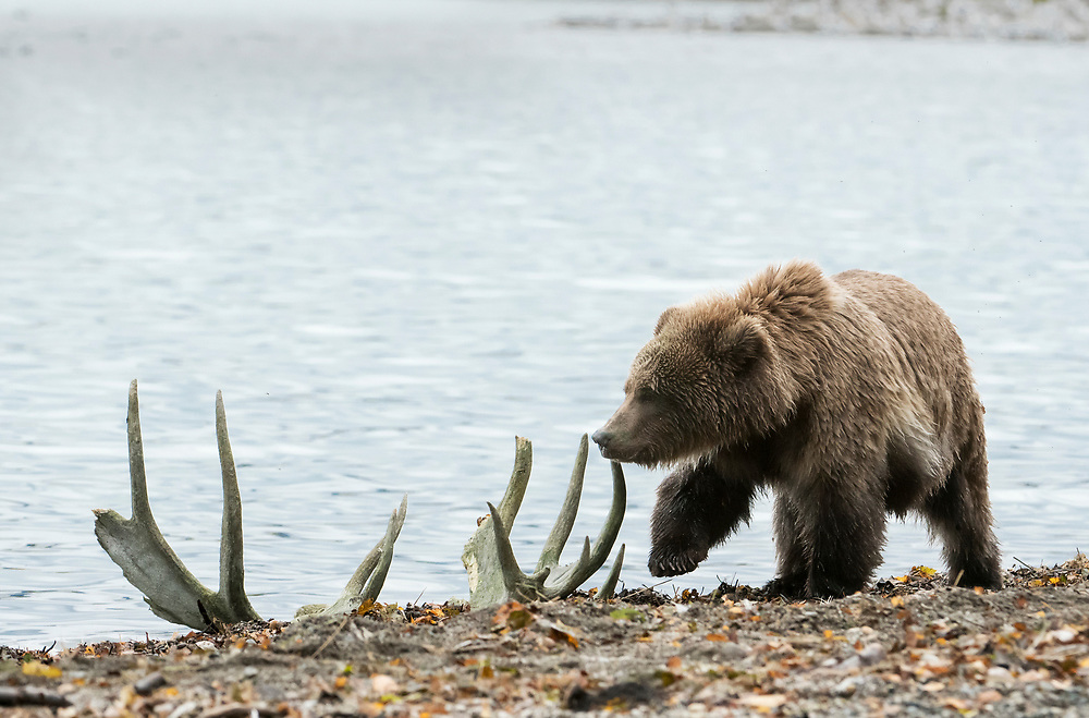 North America; United States; Alaska; Katmai National Park; Autumn; Wildlife; Mammals; Brown Bear; Ursus arctos; Moose antlers.