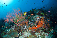 The strong currents in the Misool area create perfect conditions for filter feeders such as sea fans, soft corals and sponges and many of the dive sites have huge fields of fans and whips.  The reefs of Raja Ampat are some of the most diverse and healthiest in the world.