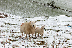 © Licensed to London News Pictures. 27/04/2016. Builth Wells, Powys, Wales, UK. A ewe and lamb are seen standing in snow on high moorland near Builth Wells, Powys, Wales, UK. Some of the high land of Powys is covered by light snowfalls which arrive from frequent storm clouds. Photo credit: Graham M. Lawrence/LNP