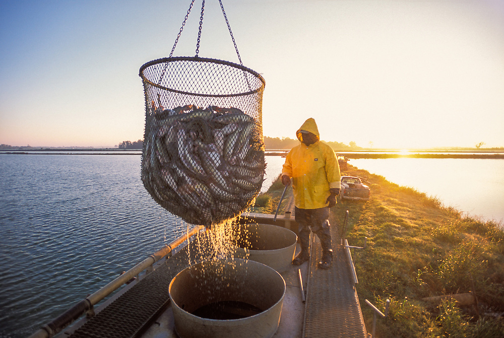 MISSISSIPPI, USA - Frederick Halls guides fish into truck at  Silver Creek Plantation catfish farm during loading of fish