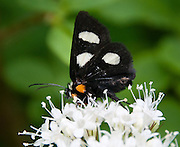 Black butterfly with white and orange spots, on Dawson Pass Trail in Glacier National Park, Montana, USA