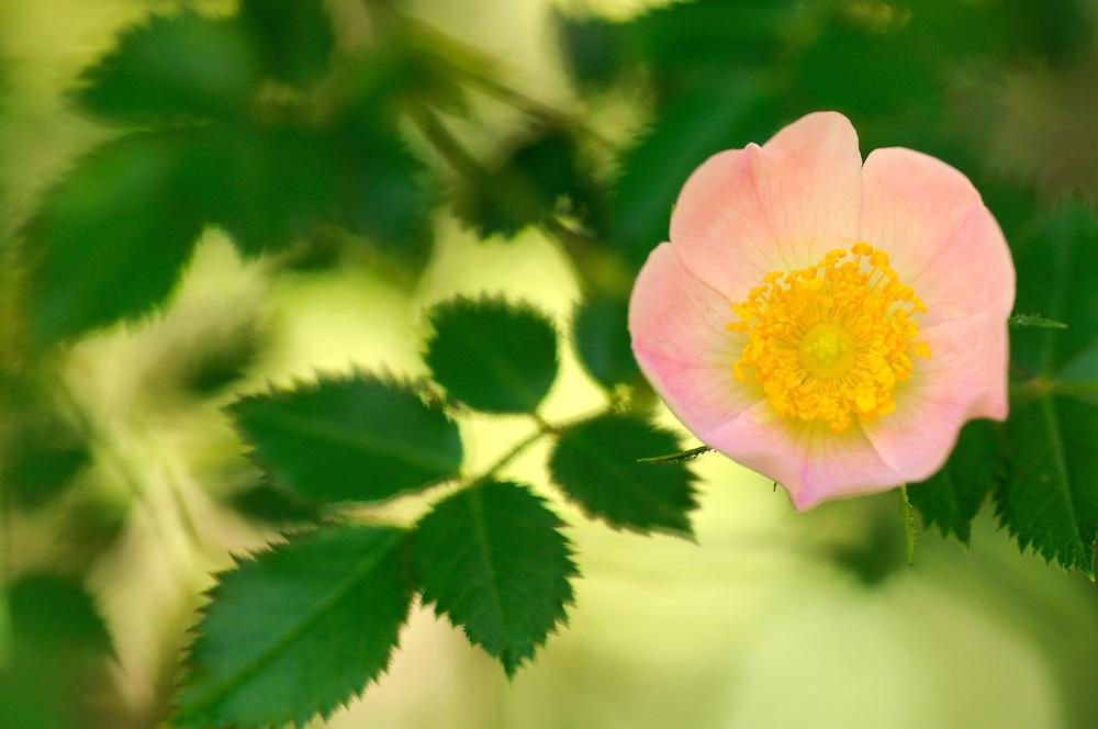 France, Languedoc Roussillon, Gard (30), Cevennes, fleur de Eglantier,  N.L.: Rosa canina, (Rosacées)