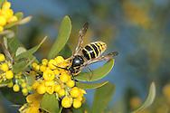 Median Wasp - Dolichovespula media on Berberis bush.