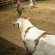 A bull chases a rodeo clown at a rodeo in the beachside town of Dominical, Costa Rica on April 26, 2009.  (Photo/William Byrne Drumm)