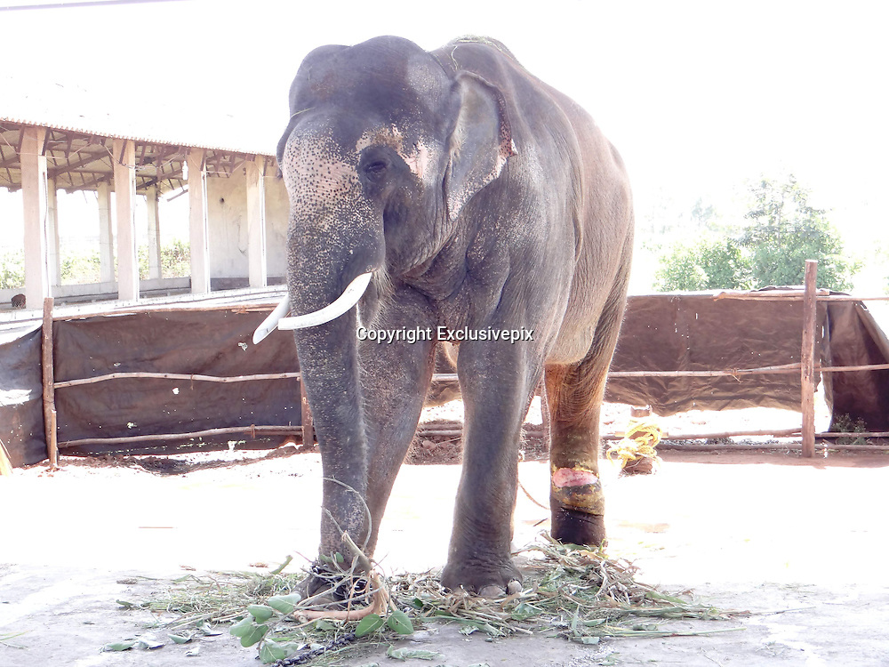 Exclusive<br /> <br /> Sir Paul McCartney Still chained and beaten despite the fact that the Bombay high court weeks ago ordered the animal's release to a sanctuary.<br /> <br /> <br /> A beaten and chained Indian elephant that Sir Paul McCartney campaigned to rescue is being treated as cruelly as ever in captivity and is now suffering a severe, raw, gaping leg wound, despite the fact that the Bombay high court weeks ago ordered the animal's release to a sanctuary.<br /> The animal rights group People for the Ethical Treatment of Animals (PETA) has revealed that the 14-year-old elephant, called Sunder, had a &quot;massive wound &hellip; as a result of constant tying with heavy chains&quot; when a vet last week visited the animal at the old poultry shed where he is being kept in Kolhapur, India. The vet's report stated that Sunder should be rescued &ldquo;on an emergency basis&rdquo;.<br /> A campaign backed by former Beatle Sir Paul was launched by PETA two years ago to free Sunder from the Hindu temple where he was being kept at that time, after it emerged that the elephant was being beaten by his handler. The elephant had a number of scars, as well as a nasty eye injury and a hole in his ear. Sir Paul wrote a letter to India's forest minister in July 2012. He wrote: &ldquo;I have seen photographs of young Sunder &hellip; put in chains with spikes. Years of his life have been ruined by keeping him and abusing him in this way and enough is enough.&rdquo;<br /> Pamela Anderson also supported the campaign.<br /> Sunder spent six years chained at the Jyotiba Temple in Kolhapur, a city south of Mumbai in India, after he was donated by a local politician. Soon after the campaign's launch, the elephant was moved to the poultry shed in Kolhapur, in the state of Maharashtra, against the orders of authorities that he should be sent to a sanctuary to roam free. A hearing in the Bombay high court last month concluded that the Maharashtra forest department - the only government