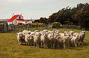 Flock of sheep, Long Island farm, Falkland Islands.