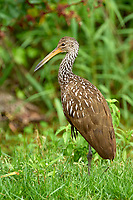 Arthur C Marshall Wildlife Reserve, Loxahatchee, Florida. Limpkin wading at edge of drainage ditch Photo: Peter Llewellyn
