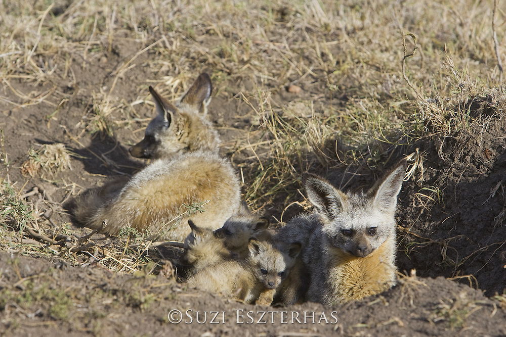Bat-eared fox<br /> Otocyon megalotis<br /> Parents with 5 week old pup(s) at den<br /> Masai Mara Reserve, Kenya